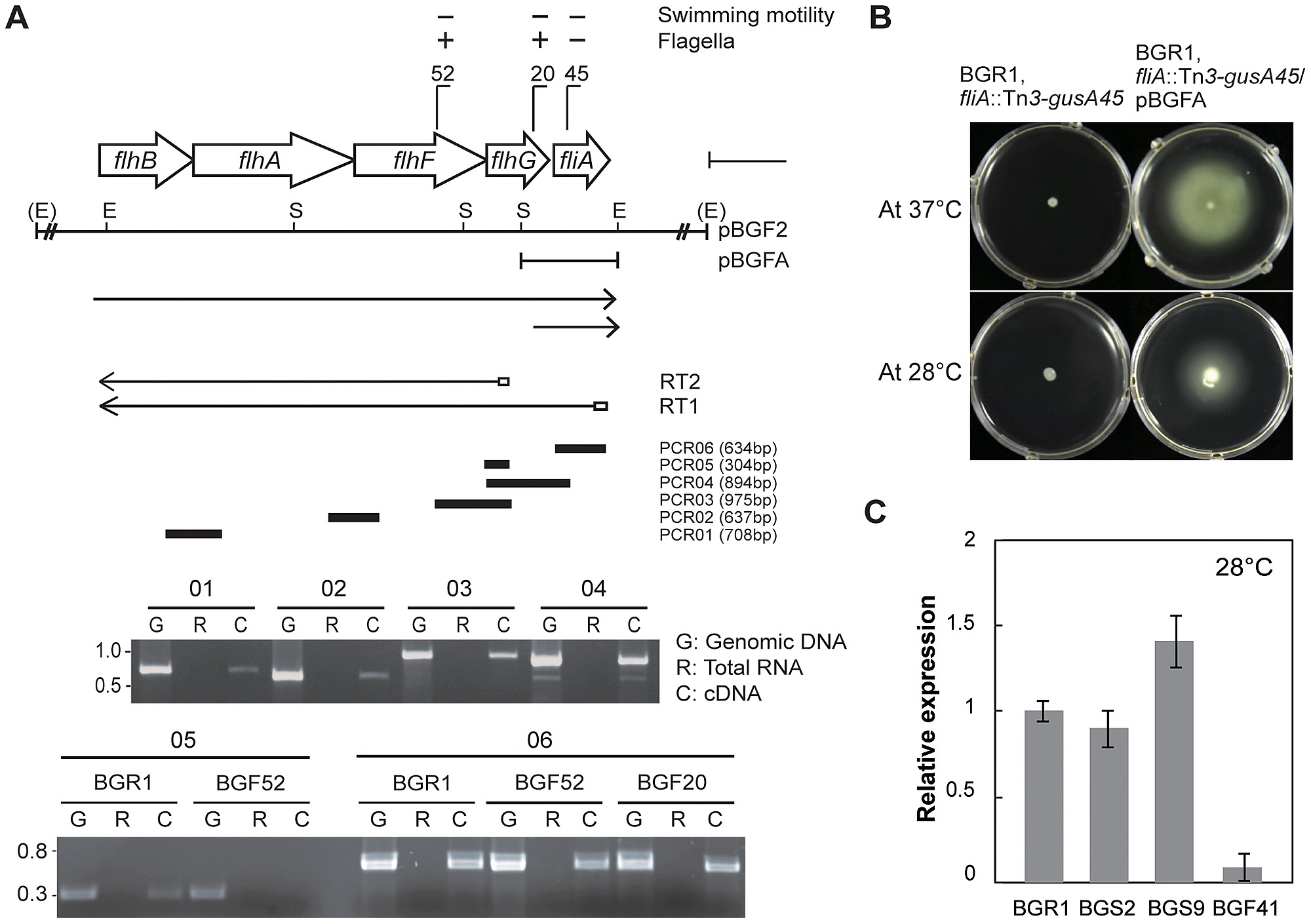 hight resolution of genetic organization of flhbafg and flia genes and flhf gene expression at 28 c
