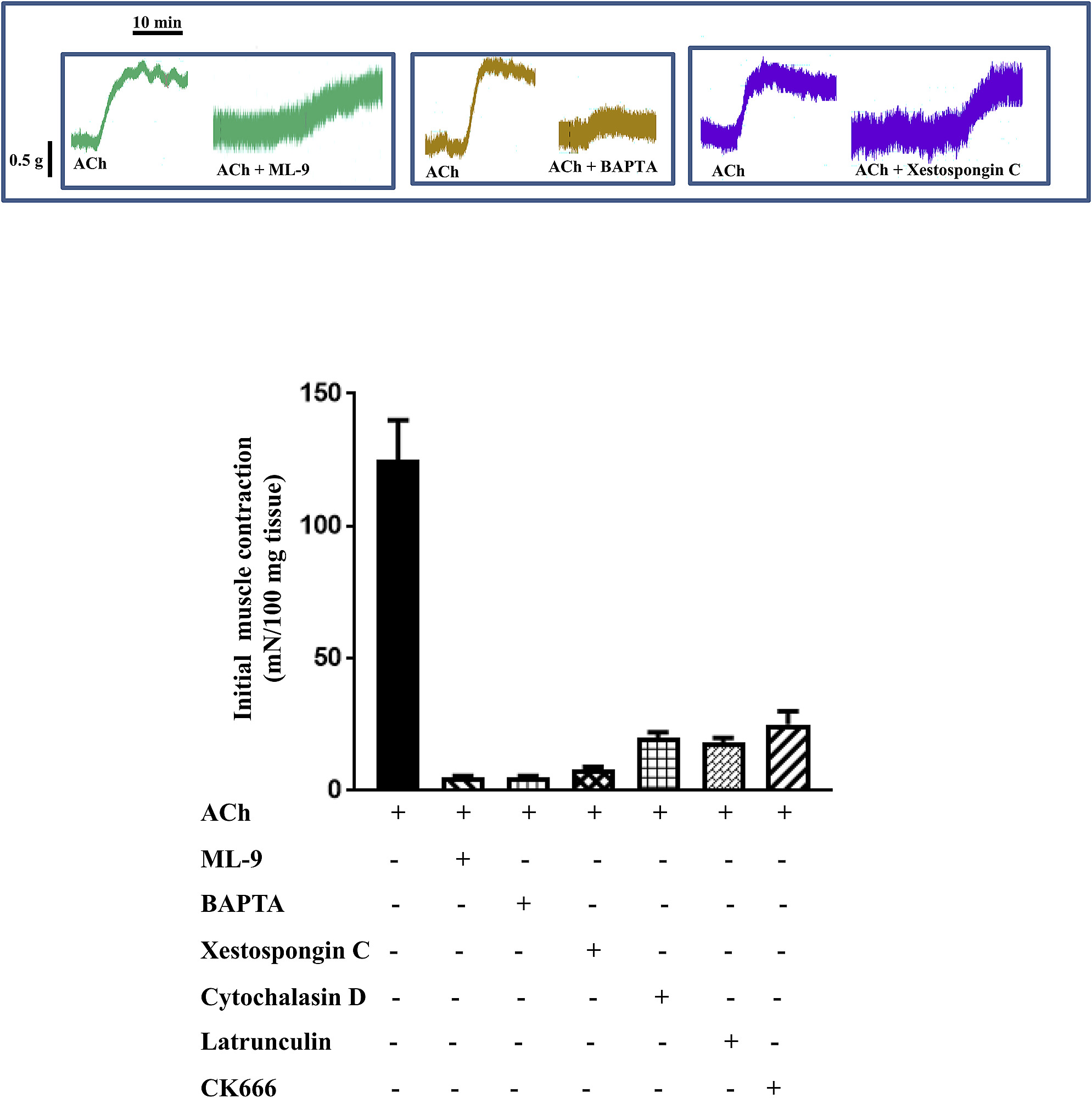 hight resolution of inhibition of initial actin polymerization prevents ach induced initial smooth muscle contraction