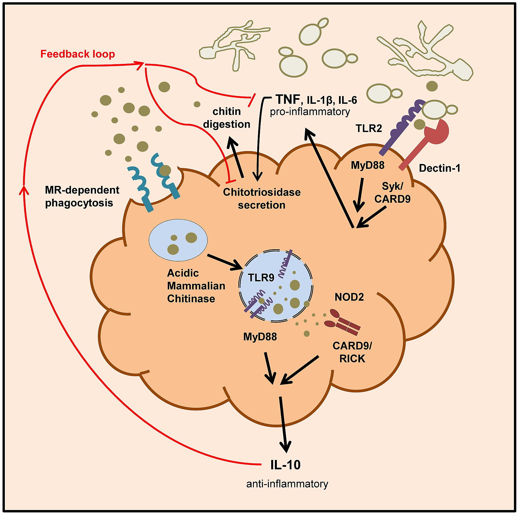 hight resolution of schematic overview of chitin recognition and involved pathways in negative regulation of inflammation