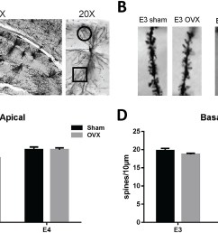 ovariectomy decreases ca1 apical dendrite spine density in female apoe3 tr mice  [ 2000 x 1188 Pixel ]