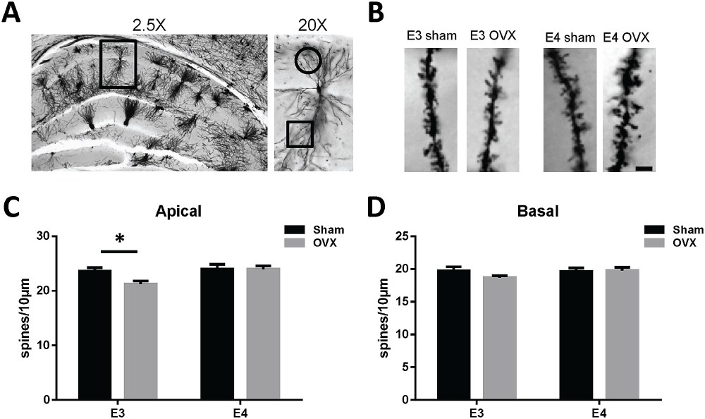medium resolution of ovariectomy decreases ca1 apical dendrite spine density in female apoe3 tr mice