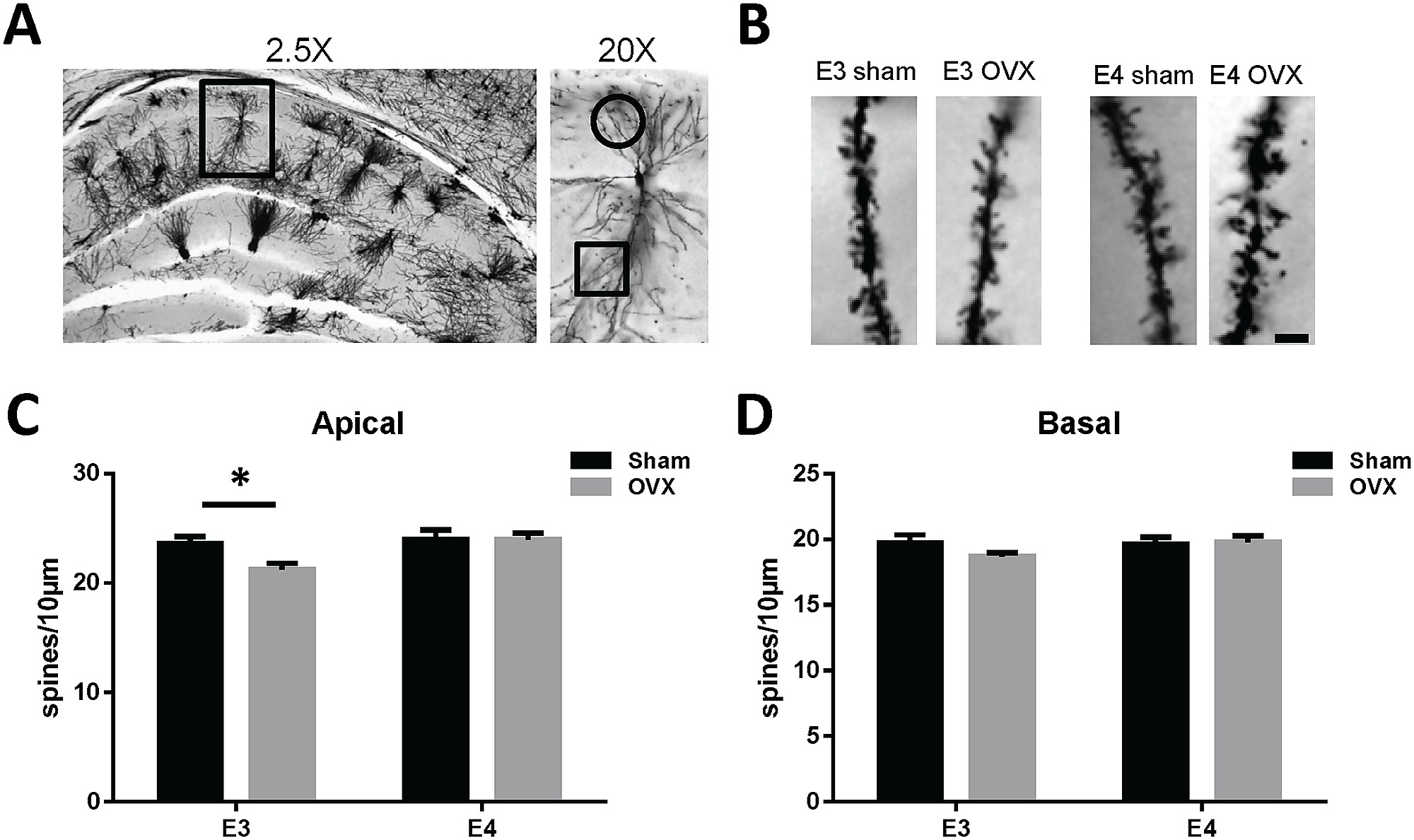 hight resolution of ovariectomy decreases ca1 apical dendrite spine density in female apoe3 tr mice