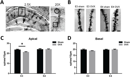 small resolution of ovariectomy decreases ca1 apical dendrite spine density in female apoe3 tr mice
