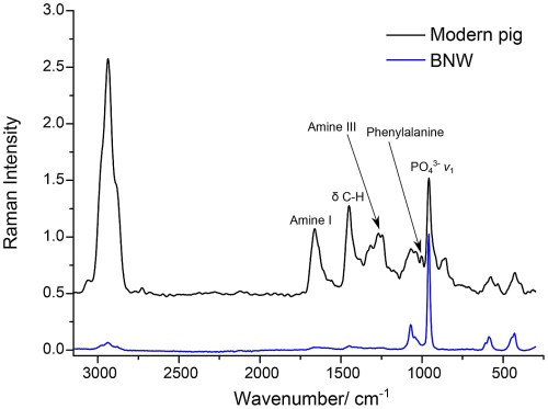 small resolution of the ft raman spectra of a modern pig bone and the bone sample from burial 511 from ban non wat raman id 41 one of the 6 bones that displayed high protein