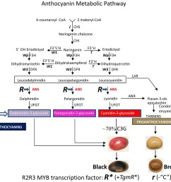 diagram of the soybean seed coat anthocyanin metabolic pathways and enzymatic steps regulated by the myb transcription factor encoded by the r allele in  [ 2000 x 1886 Pixel ]