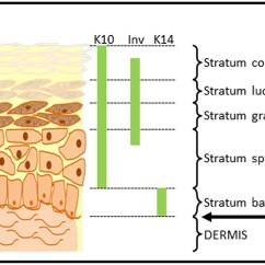7 Layers Of Skin Diagram Wiring For Caravan Electrics List Synonyms And Antonyms The Word Epidermis