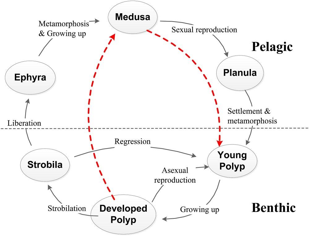 medium resolution of jellyfish diagram
