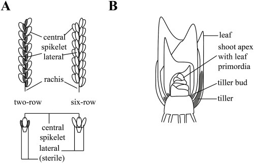 small resolution of diagram of barley