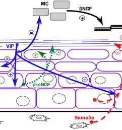 schematic representation of the crosstalk between nerve fibers and osteogenic cells in the periosteum  [ 2000 x 1235 Pixel ]