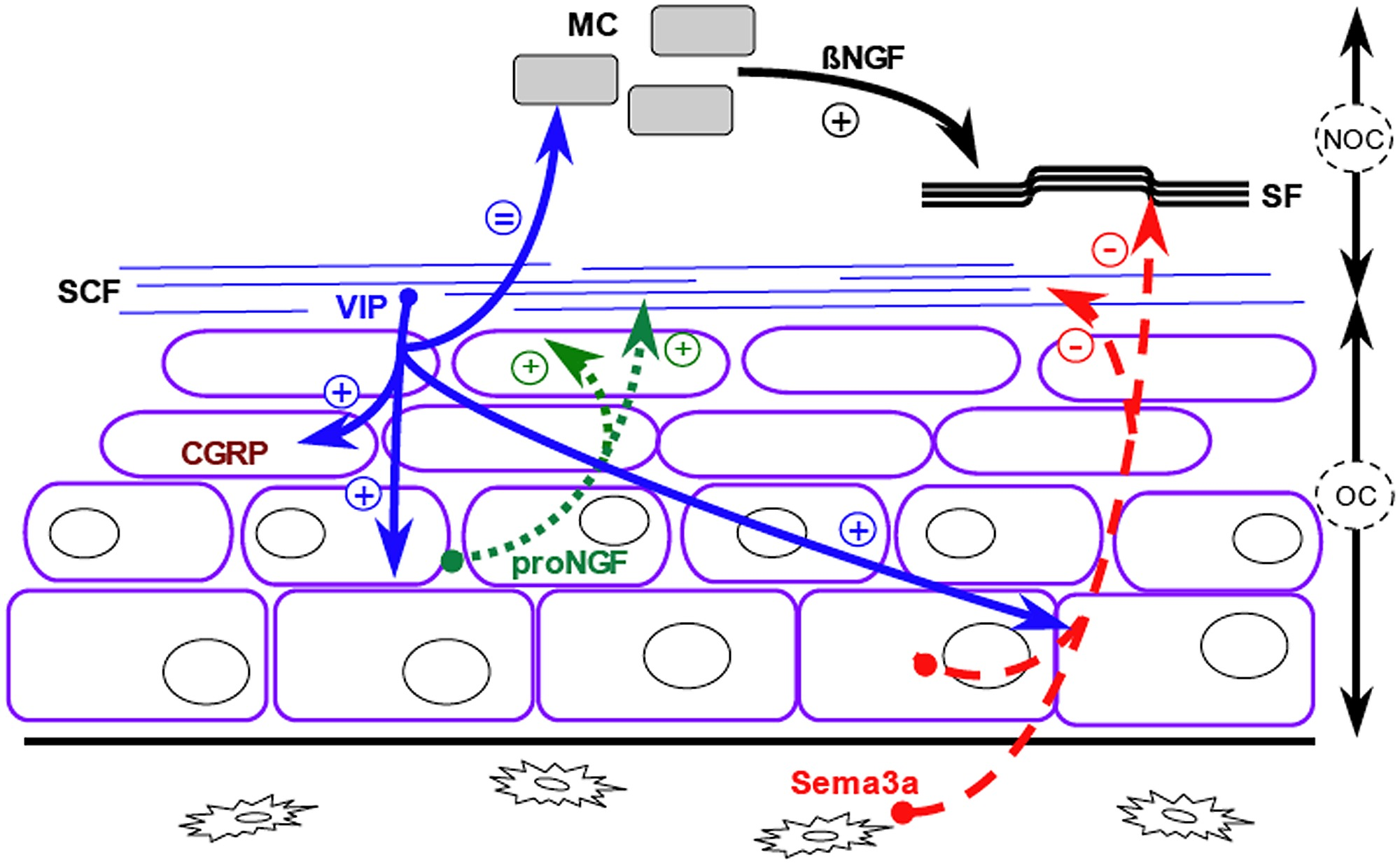 hight resolution of schematic representation of the crosstalk between nerve fibers and osteogenic cells in the periosteum