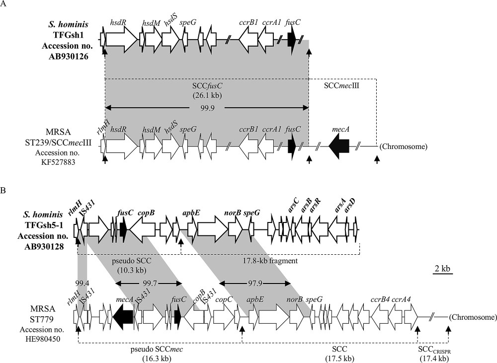 medium resolution of genetic organization of fusc related elements in s hominis subsp hominis