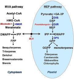 the mevalonate mva and methylerythritol phosphate mep pathways in biosynthesis of terpenoid  [ 1704 x 1799 Pixel ]