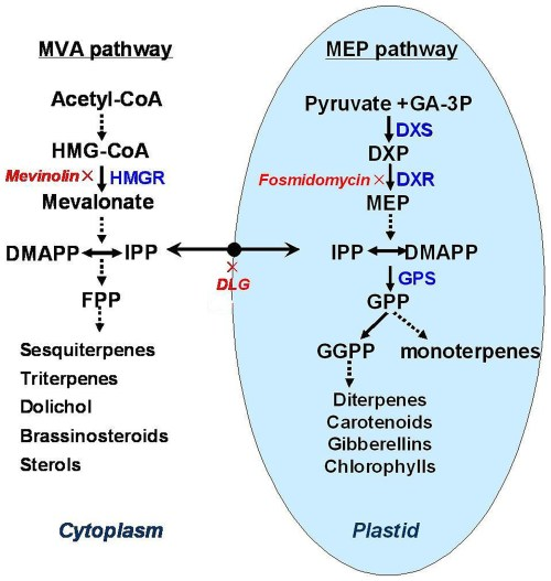 small resolution of the mevalonate mva and methylerythritol phosphate mep pathways in biosynthesis of terpenoid
