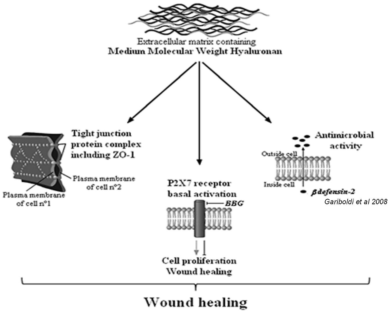 hight resolution of wound healing diagram