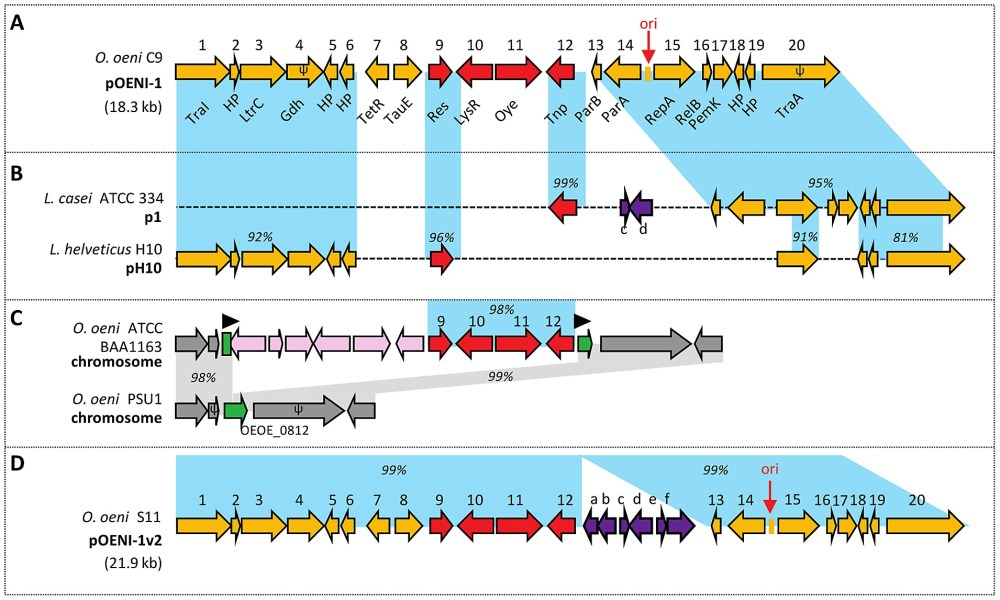 medium resolution of diagram of genetic organization