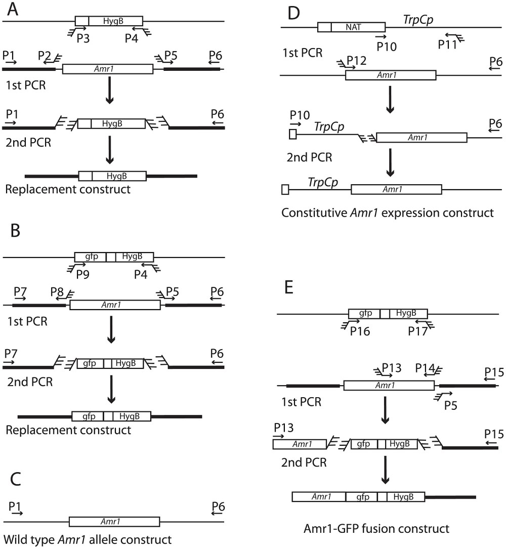 medium resolution of pcr schematic diagram