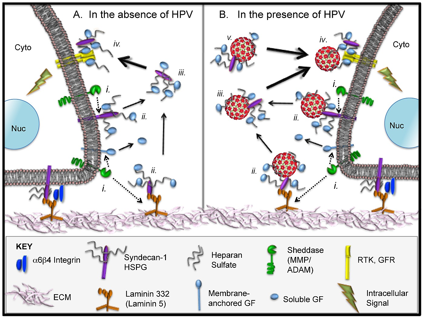 hight resolution of normal hspg biology and proposed model for extracellular interactions of hpvs in the context hs gf complexes