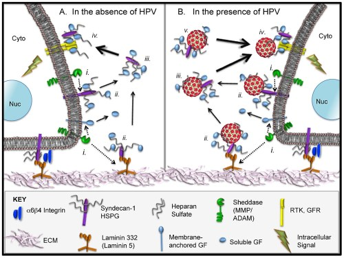 small resolution of normal hspg biology and proposed model for extracellular interactions of hpvs in the context hs gf complexes