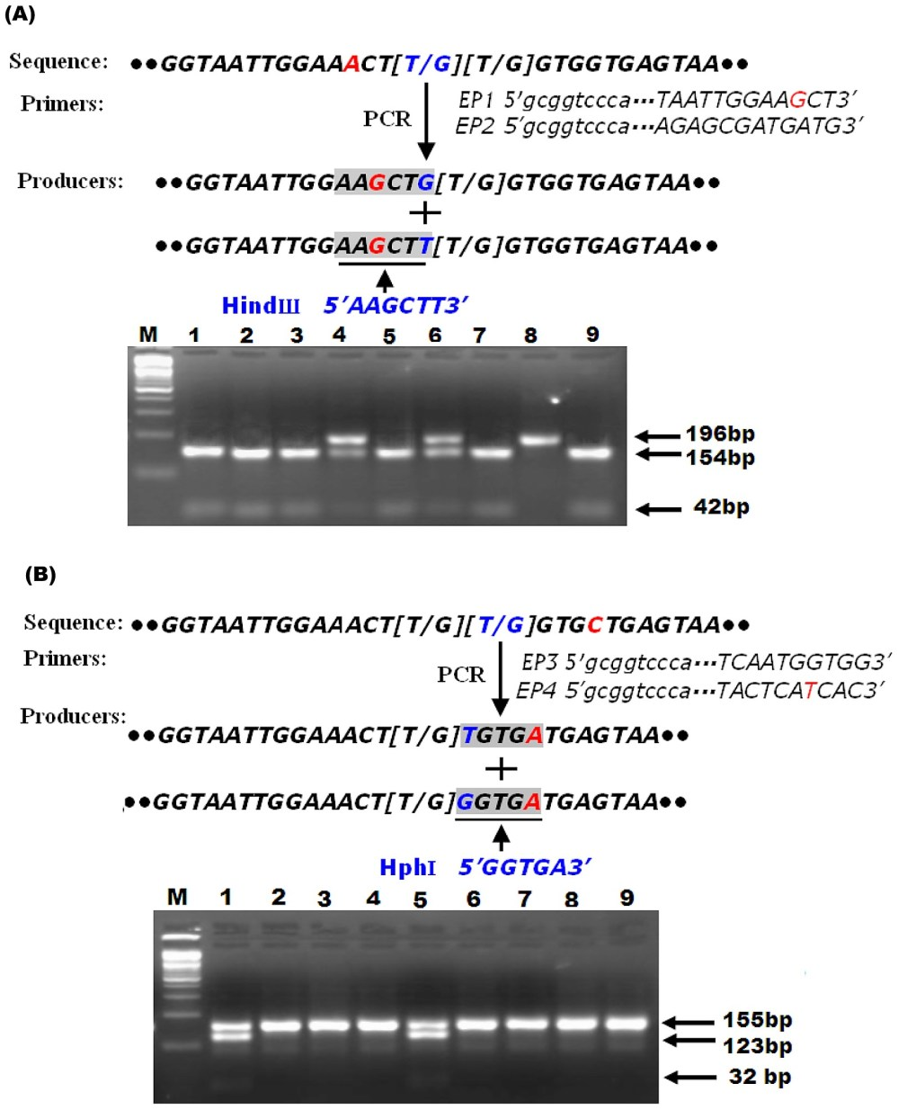 medium resolution of schematic diagram of pcr rflp strategy for detecting l1014f and l1014c substitutions and predicting the size of pcr rflp products in the para sodium channel