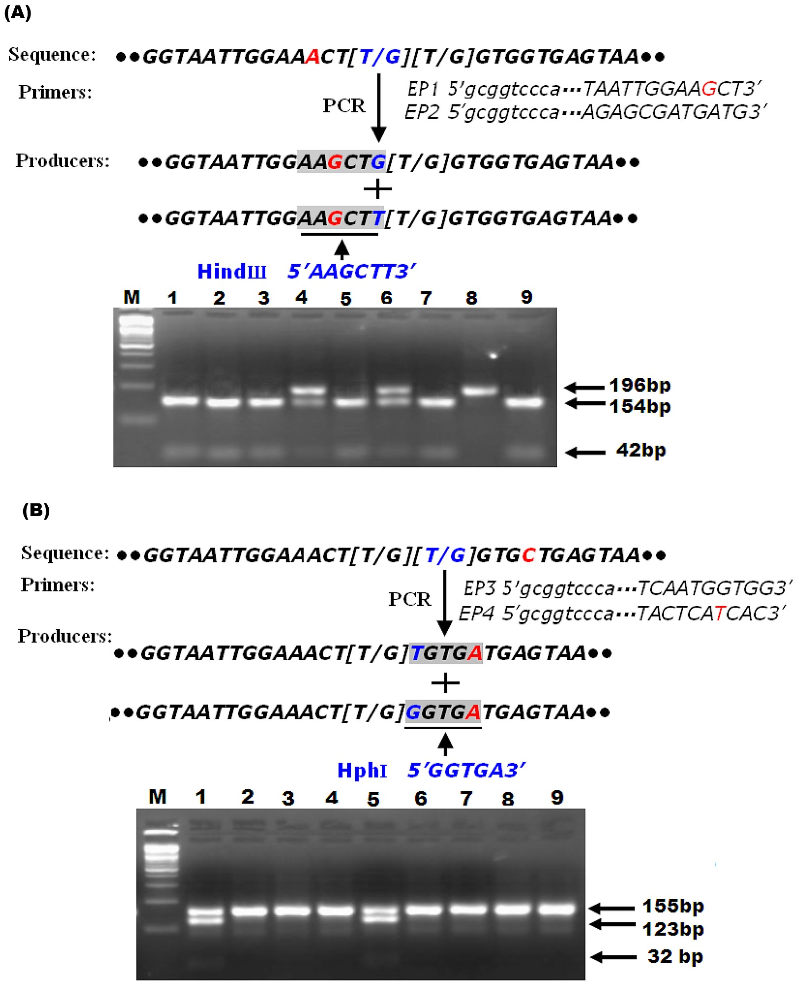 hight resolution of schematic diagram of pcr rflp strategy for detecting l1014f and l1014c substitutions and predicting the size of pcr rflp products in the para sodium channel