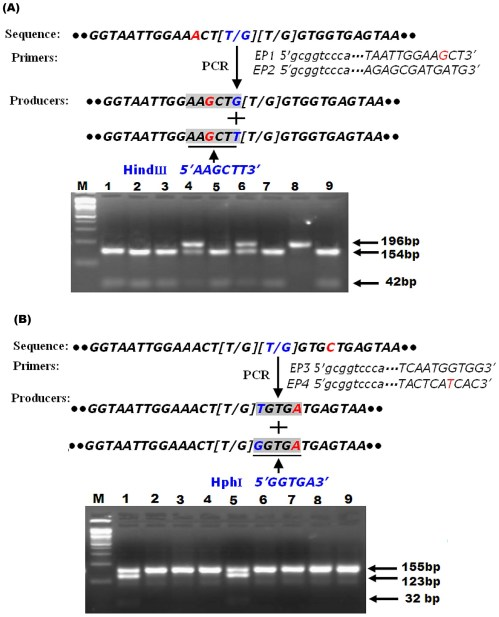 small resolution of schematic diagram of pcr rflp strategy for detecting l1014f and l1014c substitutions and predicting the size of pcr rflp products in the para sodium channel