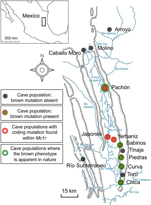 small resolution of schematic map and localities of cave and surface populations of the mexican tetra astyanax mexicanus