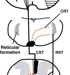 schematic diagram showing enhancement of the midline crossing fibers by lotus overexpression after mcao  [ 959 x 2000 Pixel ]