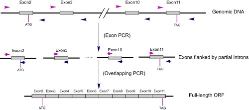 small resolution of pcr schematic diagram