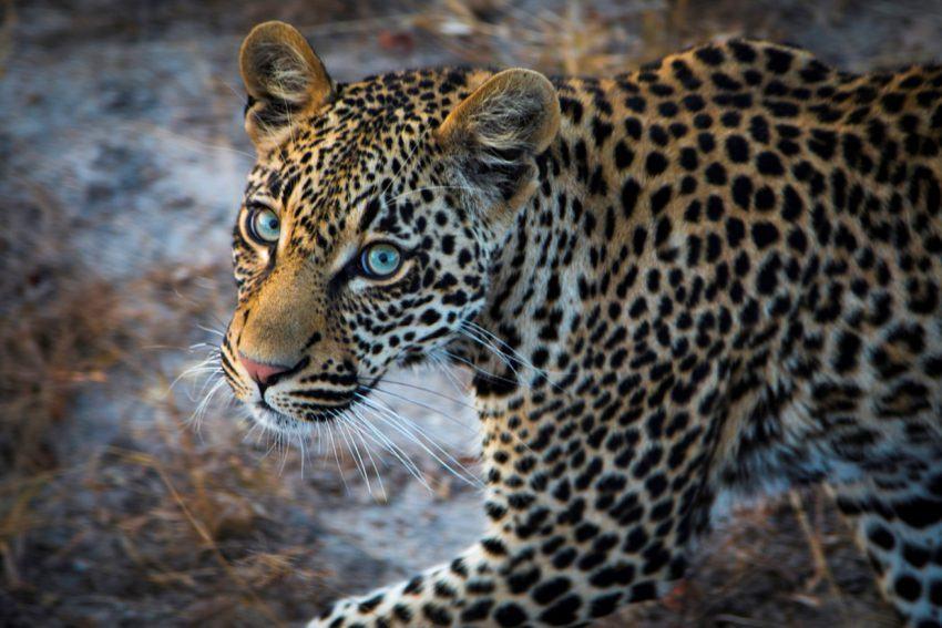 cheetah vs leopard do