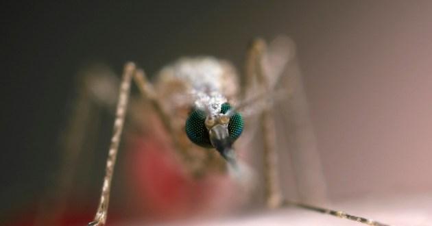Des moustiques génétiquement modifiés pour combattre le paludisme