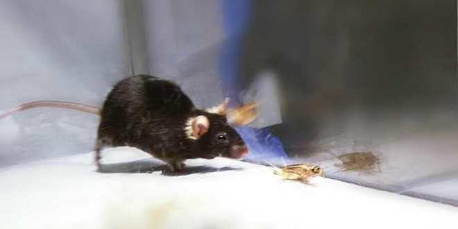 Activation de l'instinct de chasse chez les souris avec l'optogénétique