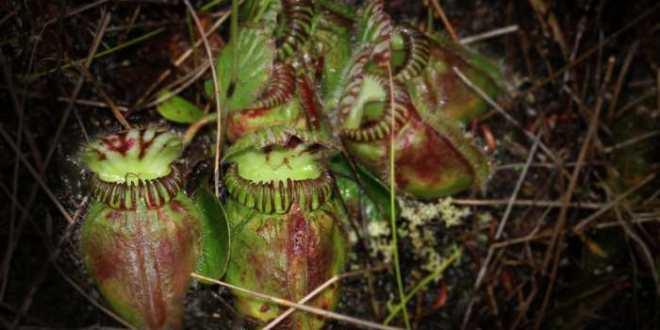 Comment les plantes carnivores ont-elles acquis le gout de la viande ?
