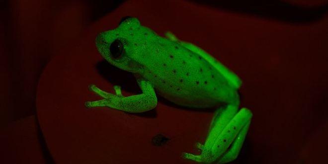 Découverte d'une rainette (grenouille) naturellement fluorescente