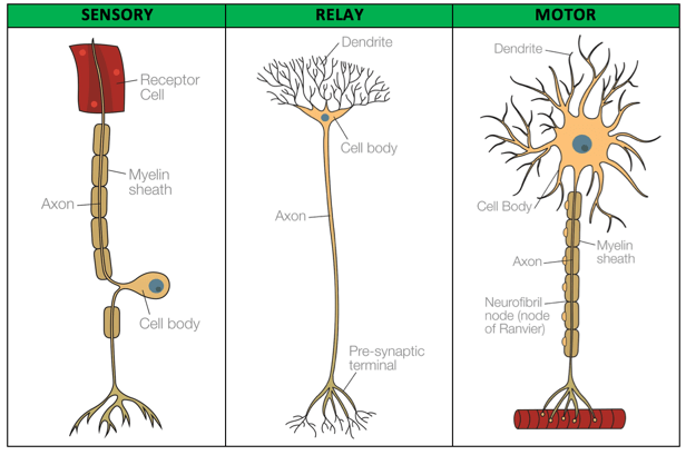 labelled diagram of nerve cell origami motorcycle biopsychology sensory relay and motor neurons tutor2u psychology are found in receptors such as the eyes ears tongue skin carry impulses to spinal cord brain