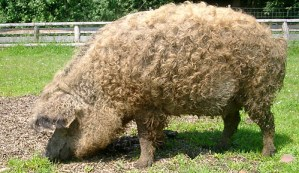 Cerdo Mangalica