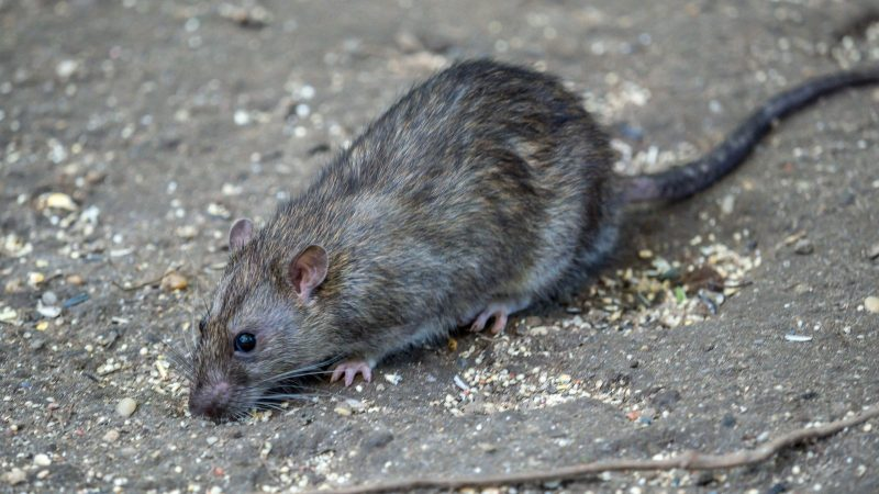 Man Dies In China After Testing Positive For Hantavirus ...