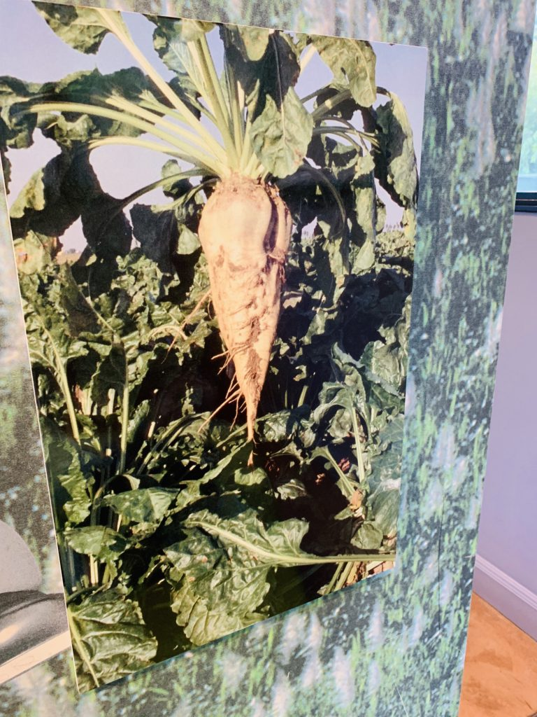 Picture of Sugar beet