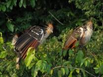 Oiseaux Amazonie