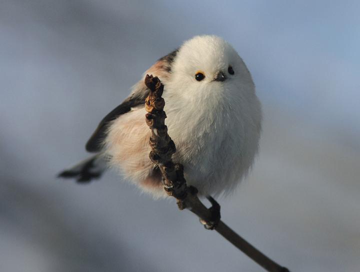 哪裡來的肥嘟嘟雪精靈!好渾圓又萌萌的銀喉長尾山雀 | 銀喉長尾山雀,鳥,北海道,日本,萌 | 生活發現 ...