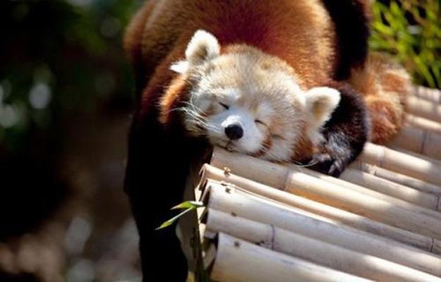 哪裡都能睡!陽光下睡得香甜的小熊貓   動物、小熊貓、小知識、萌、睡覺   生活發現   妞新聞 niusnews