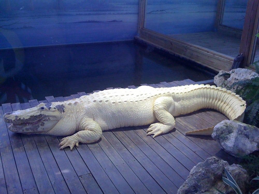Gatorland - Orlando, FL, United States. White gator