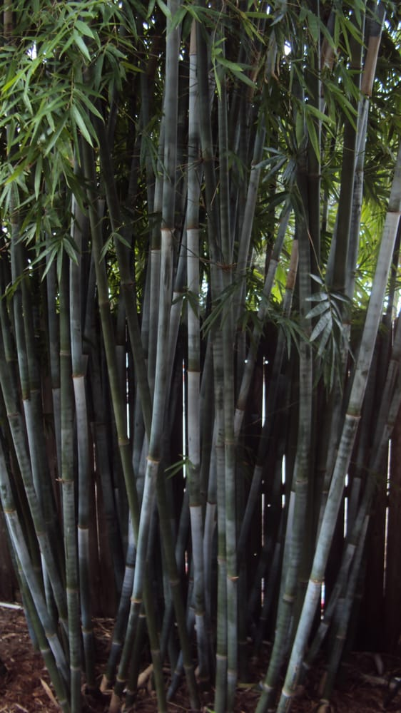 beautiful tropcial blue bamboo