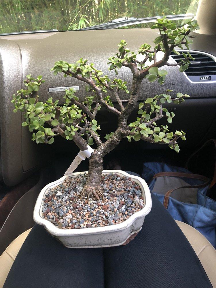 Dragon Tree Bonsai : dragon, bonsai, Dragon, Bonsai, City,, Giftly