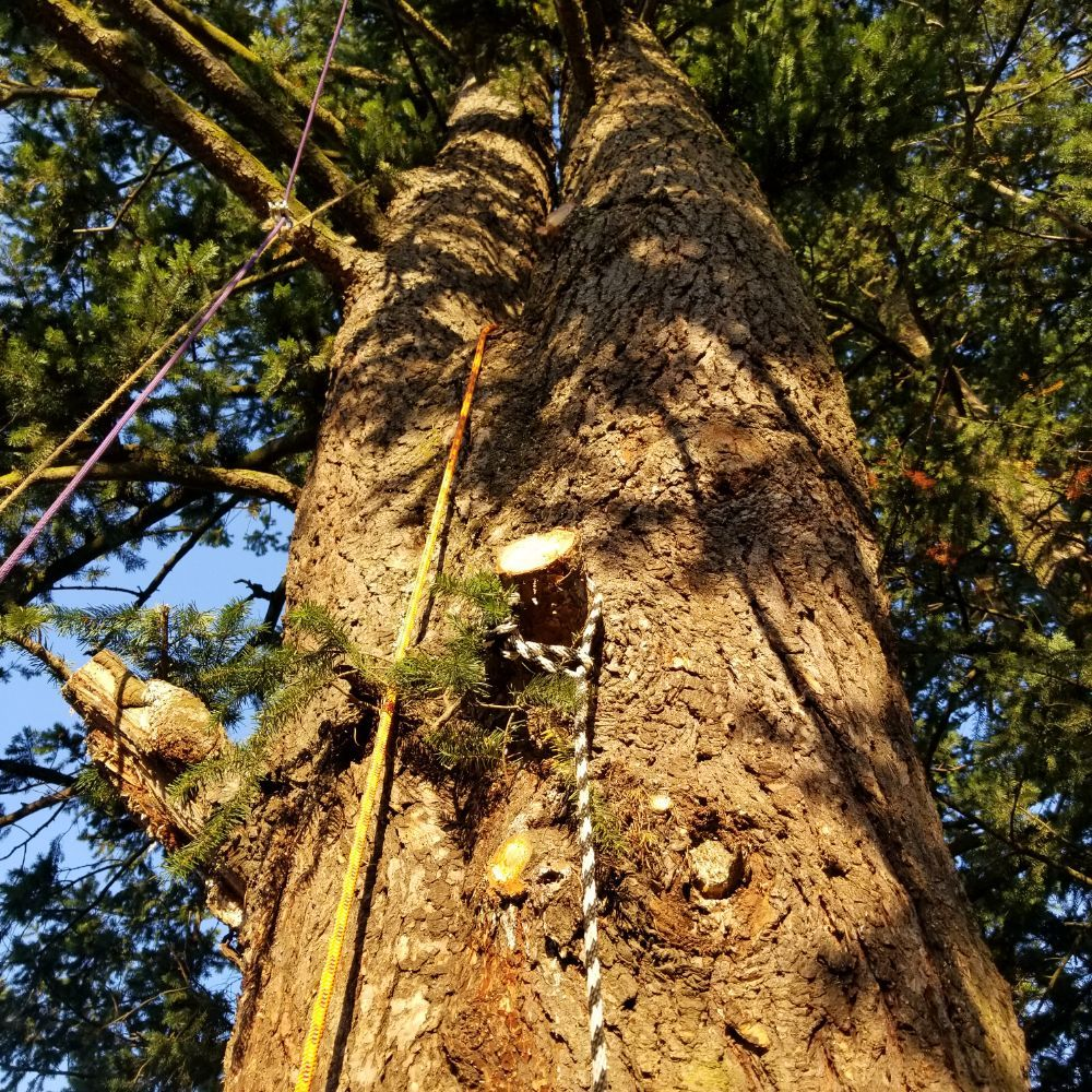 limbing and tree services