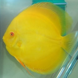 discus fish for sale near me - Mail Order Stendker Discus & Tropical