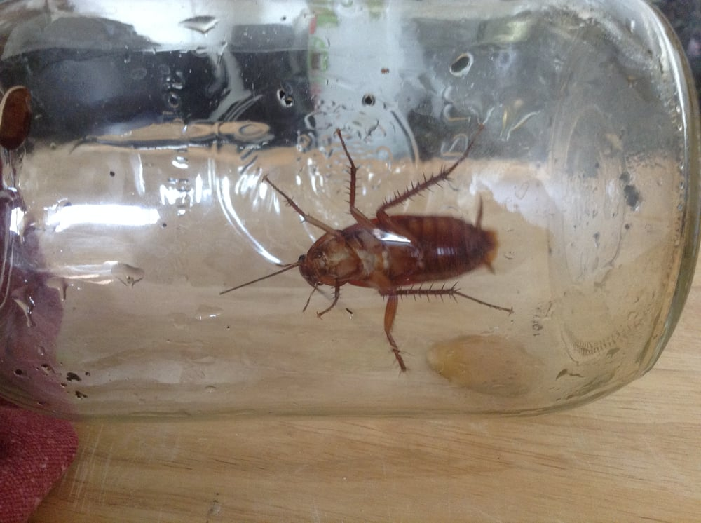 Live cockroach from 738 S New Hampshire Ave in Koreatown