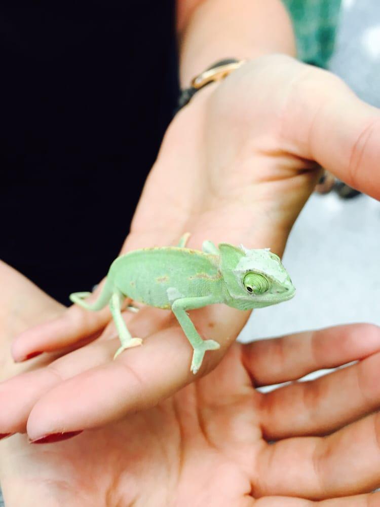 Veiled Chameleon Petco : veiled, chameleon, petco, Panther, Chameleon, Petco, Pet's, Gallery
