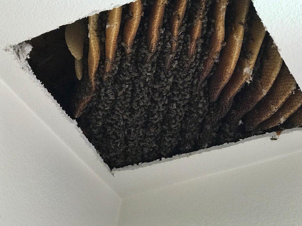 bees in ceiling behind