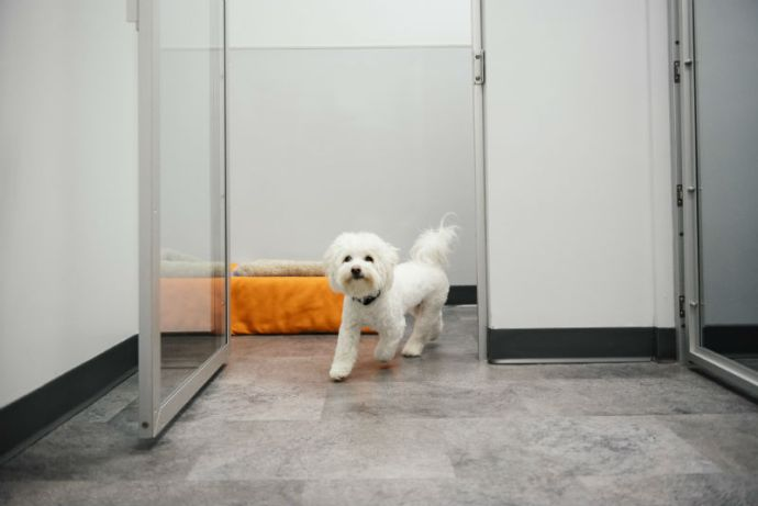 Small white dog is running into the open doors of boarding playroom at Dogtopia of Frederick.
