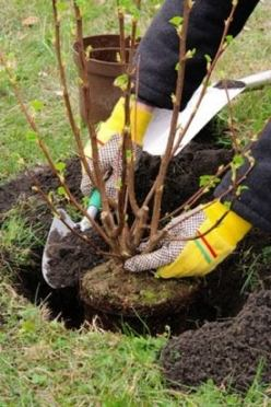 How to Plant a Bush - Setting